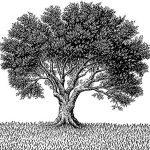 zeytin ağacını yakından tanıyalım
